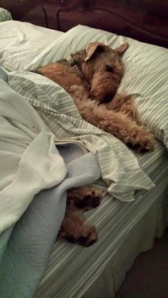 airedale on bed